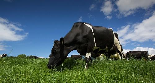 vaci irlanda mare