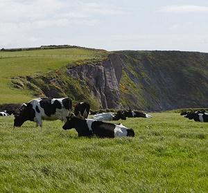 vaci irlanda